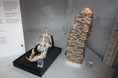 Elephant molars compared to rodent molars