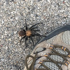 Brown Tarantula, Cedar Hill SP, TX