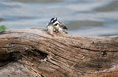 Pied Kingfisher with his catch of the day