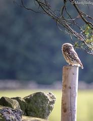 Little Owls 2019