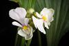 Photo:[Osumi pen., Kagoshima, Japan / 鹿児島県大隅半島] Calanthe alismifolia Lindl., Fol. Orchid. 6: 8 (1855) By sunoochi