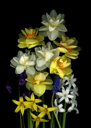 59708.01 Narcissus, Hyacinthus orientalis, Erythronium americanum, Muscari