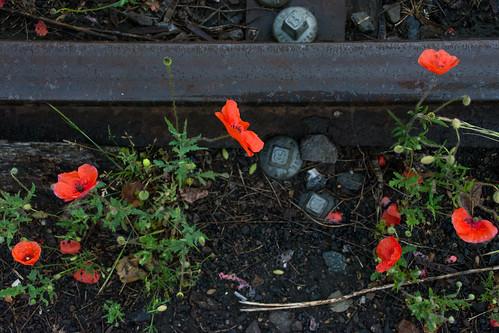 Belgian poppies.