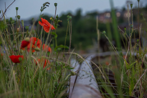 Switch and poppies.