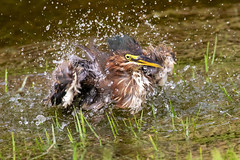 Little Green Heron Taking a Bath