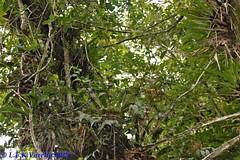 Eleanthus brasiliensis in situ