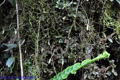 Barbosella dusenii in situ