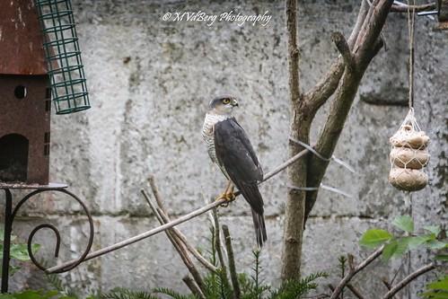 Epervier d'Europe - Eurasian Sparrowhawk - Accipiter nisus