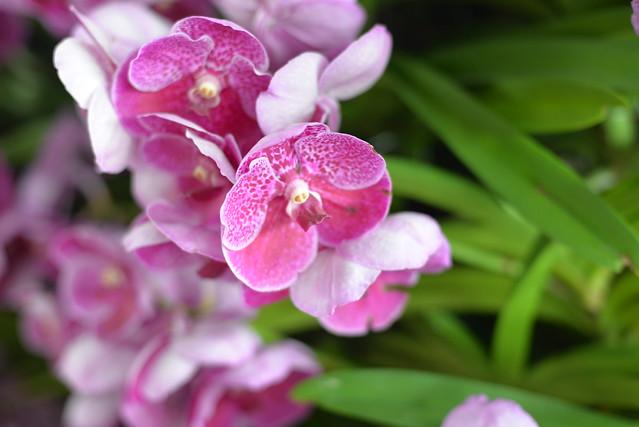 Airport orchids BKK 12-1-17 2