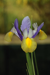 Eine kleine knollige Iris - Photo of Teyran