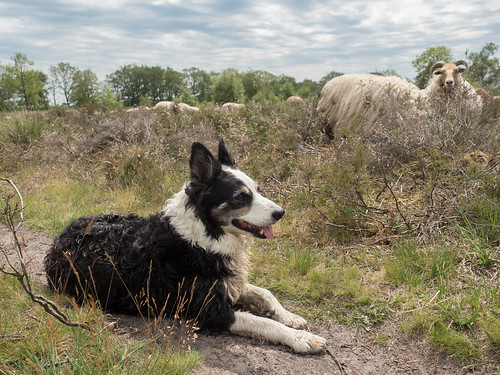 Another sheepdog