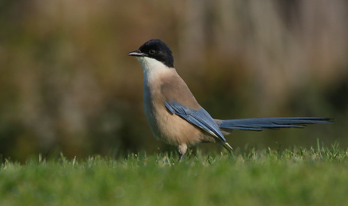 Charneco / Pega-azul / Rabilargo / Azure-winged magpie