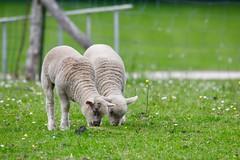 Les agneaux de Pâques - Photo of Chevru