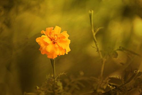 Lonesome Marigold