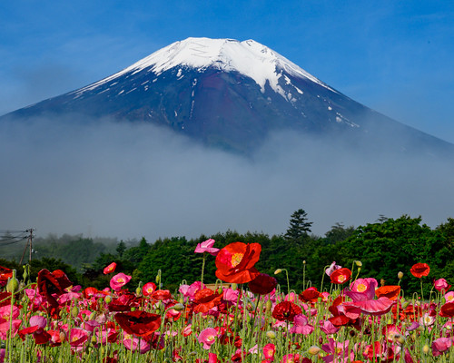 Early summer Fuji and flowers