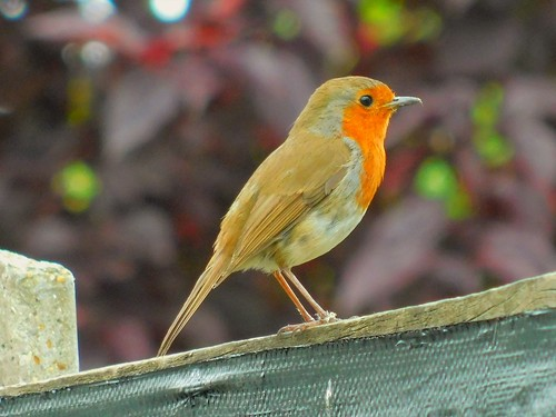 Red Breasted Robin