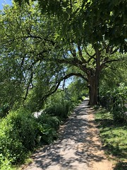 Dappled sunlight, path and magnificent tree at Rose Park NW, Washington, D.C.