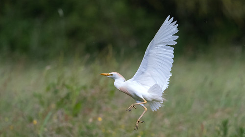 Héron garde-boeufs Bubulcus ibis - Western Cattle Egret
