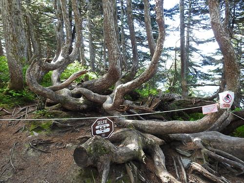 Very old hemlock fir tree