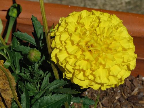 Yellow Marigold In Sunlight.