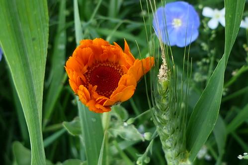 Ringelblume - Marigold