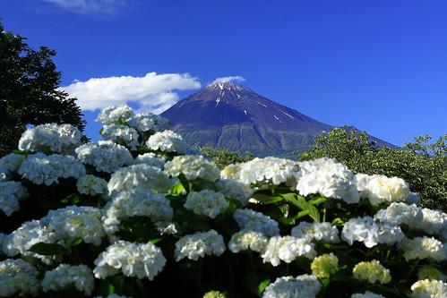 Mt.Fuji & hydrangea