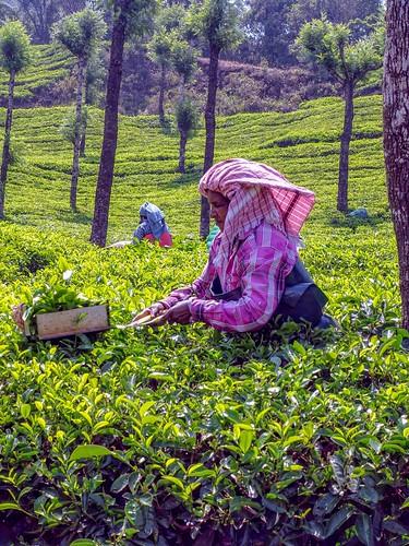 Tea Harvesting @ Munnar's Tata tea Plantation.