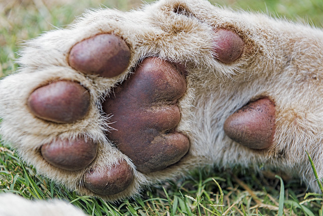 Photo:The paw of a cub By Tambako the Jaguar