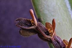 Acianthera saurocephala - 2019