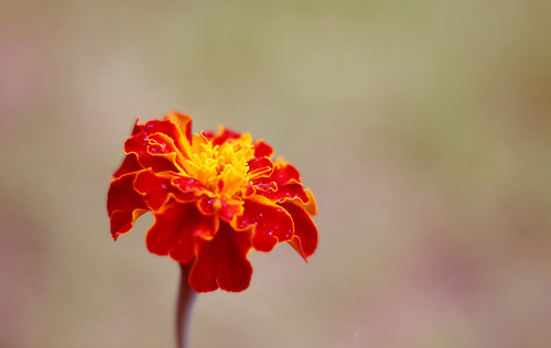 IMG_7049 Marigold Red