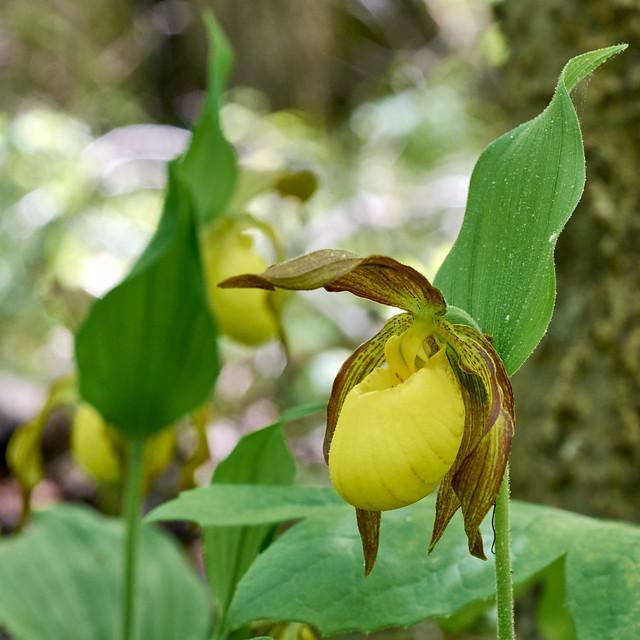 Cypripedium parviflorum var. pubescens