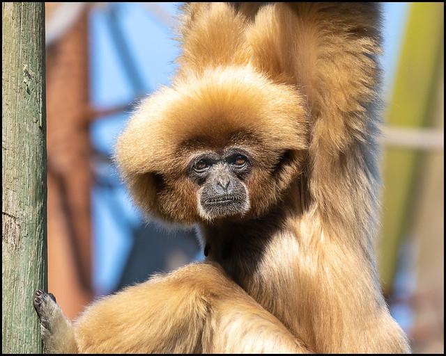 White-handed Gibbon (Female)