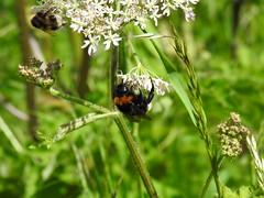 Bee DSCN9804