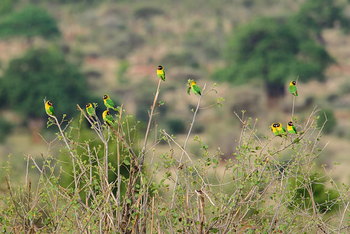 A flock of Yellow-collared Lovebird (Agapornis personatus)