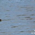Aves en las lagunas de La Guardia (Toledo) 16-6-2019