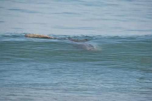 Mola mola, lost ocean Sunfish
