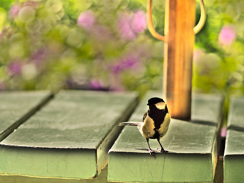 Great tit playing it cool