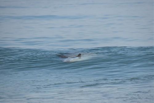 Mola mola, floating ocean Sunfish