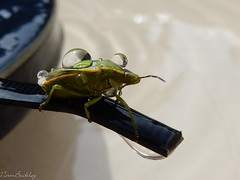 Green Stink Bug2