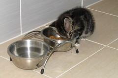 Kitten eating Minette's croquettes