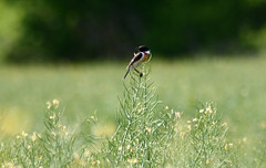Saltimpalo (Saxicola rubicola) - Photo of Orgerus