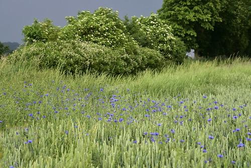 Auf der Straße über die Sieben Berge - Kornblumen (Centaurea cyanus) in einem Weizenfeld; Norderstapel, Stapelholm (10)