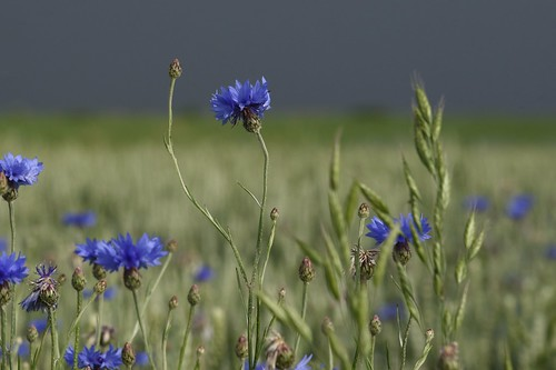 Auf der Straße über die Sieben Berge - Kornblumen (Centaurea cyanus) in einem Weizenfeld; Norderstapel, Stapelholm (2)