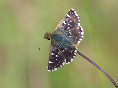 Red-underwing Skipper (Spialia sertorius) - Photo of Baneuil