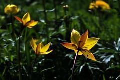 Tulipe Australe... Southern Tulip... #FujiX-S1 #darktable #DigiKam