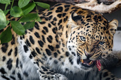 Leopard eating meat