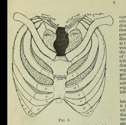 This image is taken from Page 6 of Why does phthisis attack the apex of the lung? : a discussion at the Medical Society, London Hospital, October 29th, 1903, opened by Dr. Arthur Keith