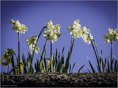 Daffodils - Photo of Montreuil-Bellay