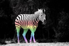 35/52 - Zebra in technicolor