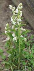 Céphalanthère à grandes fleurs (Cephalanthera damasonium) - Photo of Maurecourt